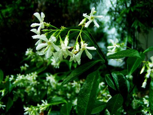 jasmine-small